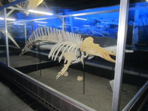 another whale skeleton with another story